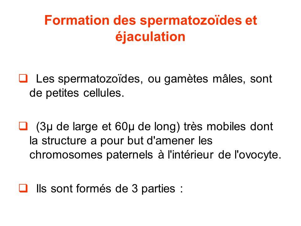 Formation des spermatozoïdes et éjaculation