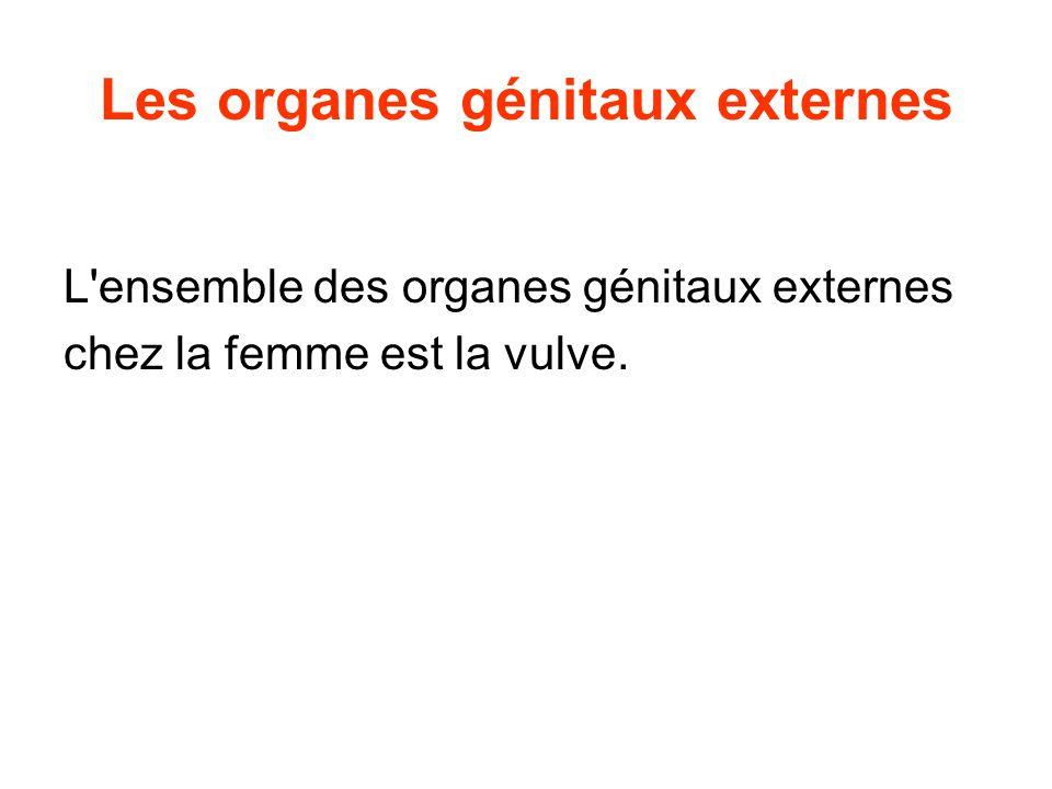 Les organes génitaux externes