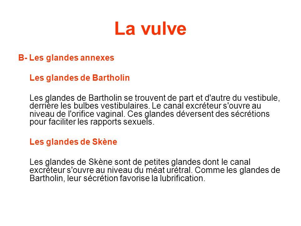 La vulve B- Les glandes annexes Les glandes de Bartholin