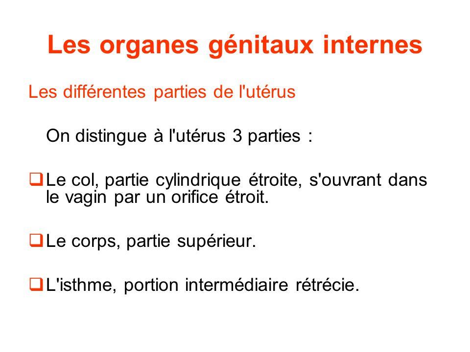 Les organes génitaux internes