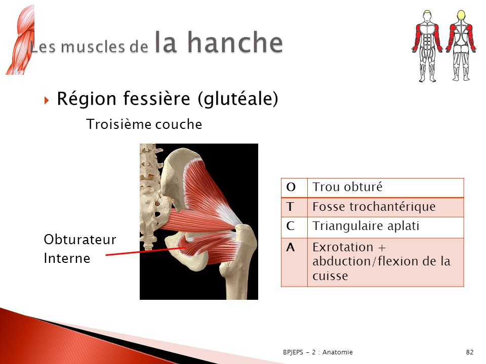 hanche anatomie muscle