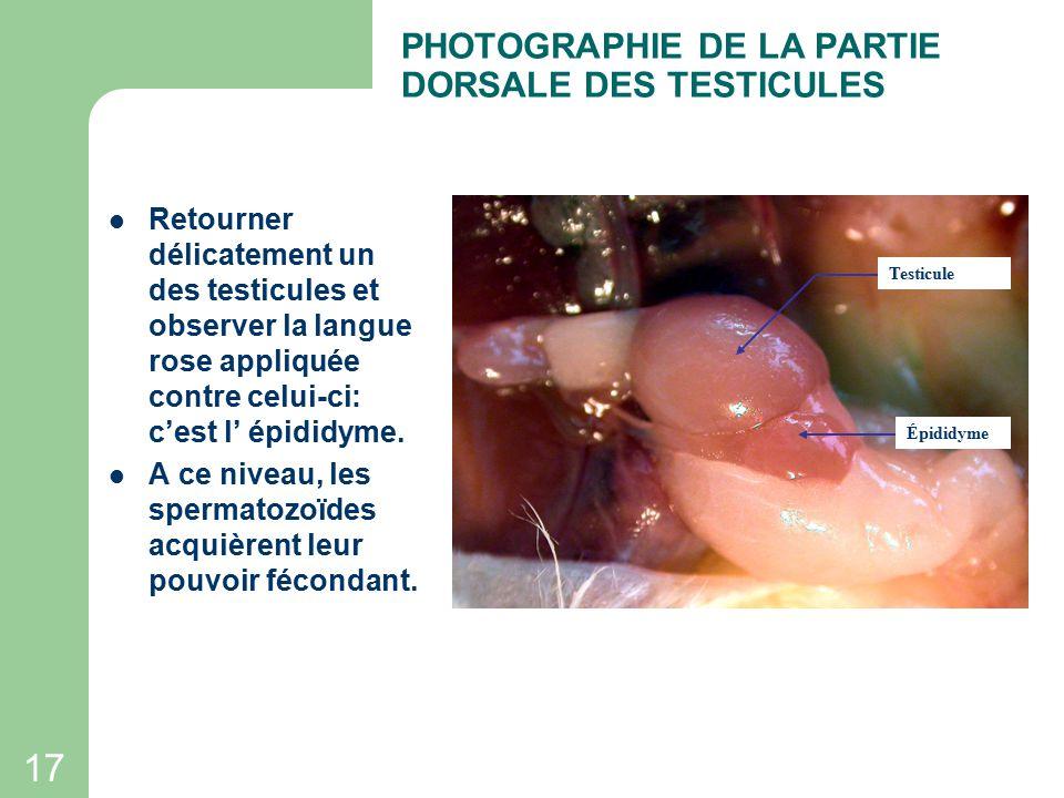 PHOTOGRAPHIE DE LA PARTIE DORSALE DES TESTICULES