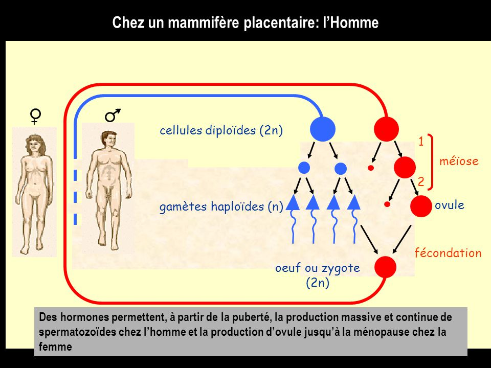 cellules diploïdes (2n)