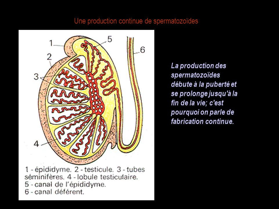 Une production continue de spermatozoïdes