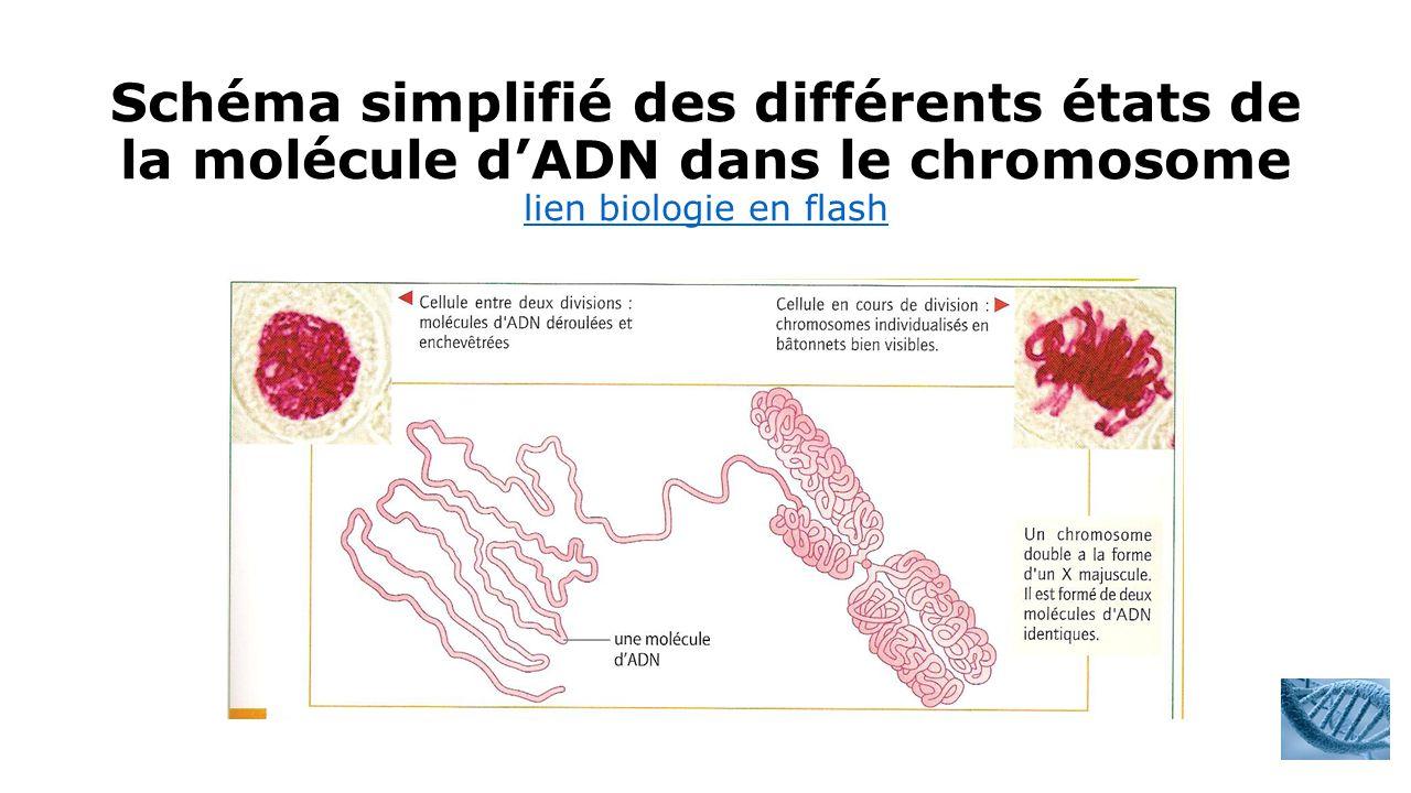 Schéma simplifié des différents états de la molécule d'ADN dans le chromosome lien biologie en flash