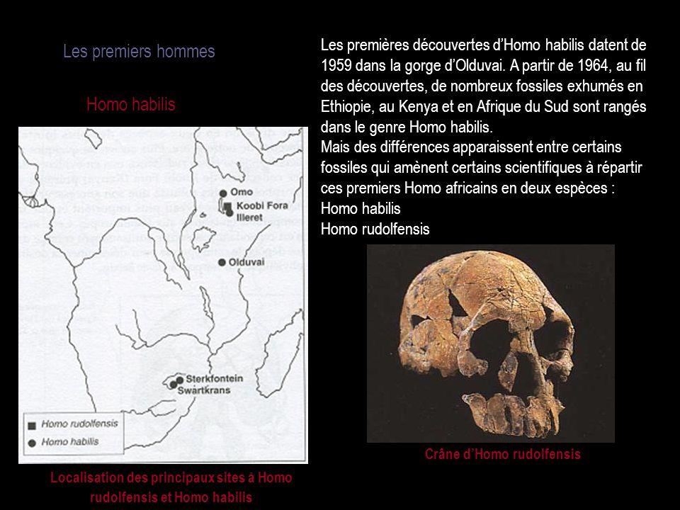 Crâne d'Homo rudolfensis