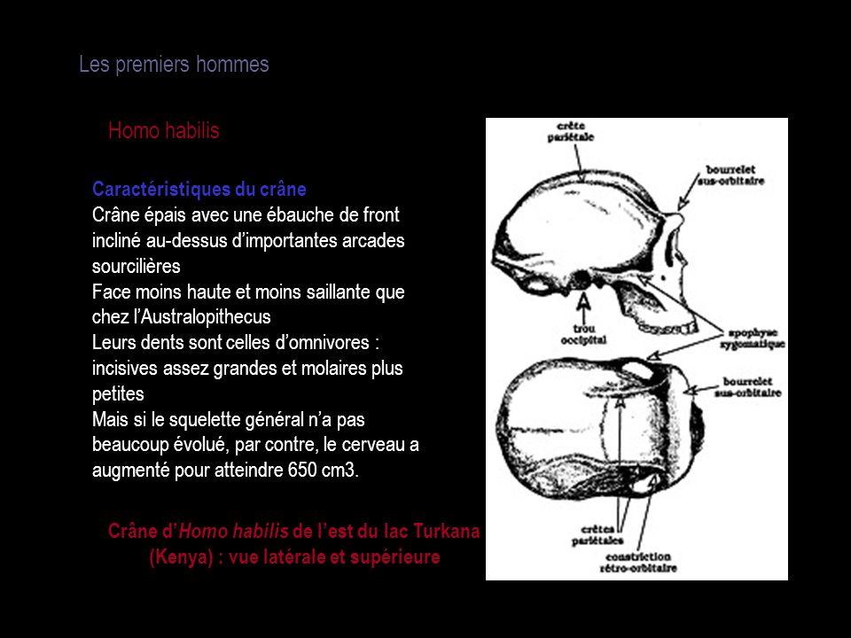 Les premiers hommes Homo habilis Caractéristiques du crâne