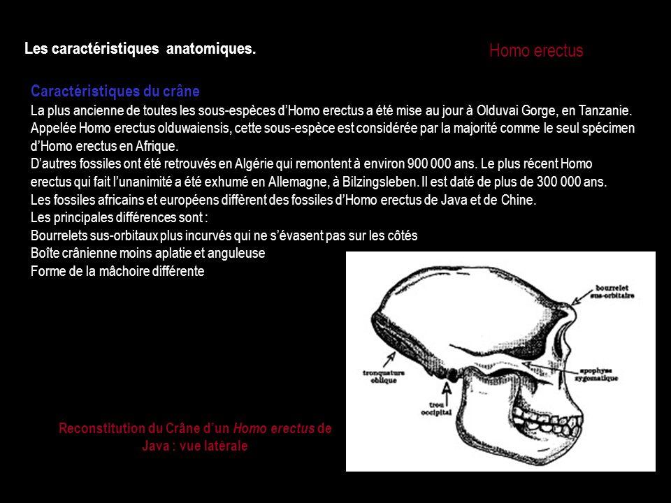 Reconstitution du Crâne d'un Homo erectus de Java : vue latérale