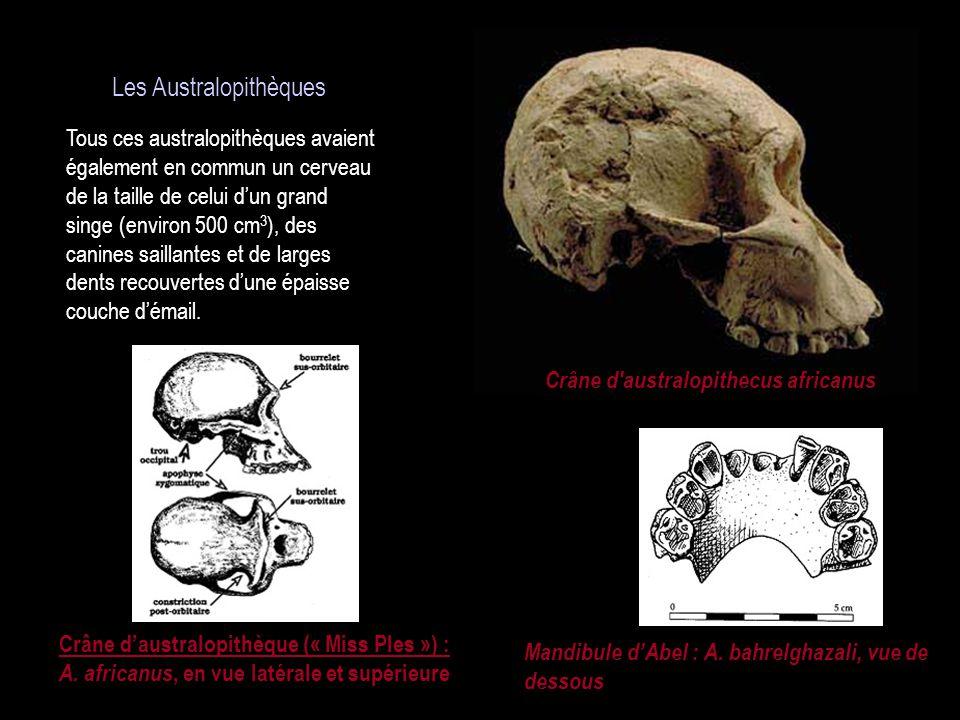 Crâne d australopithecus africanus