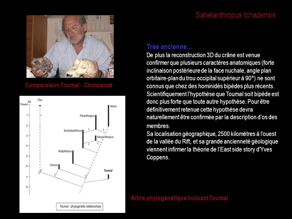 Comparaison Toumaï - Chimpanzé Arbre phylogénétique incluant Toumaï