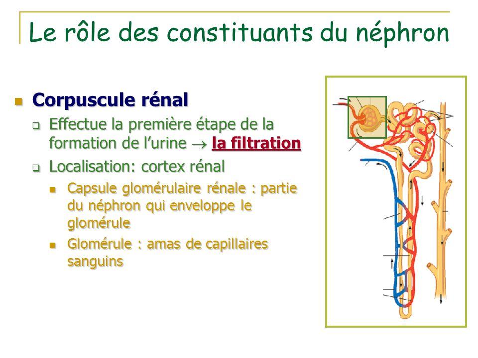 Le rôle des constituants du néphron