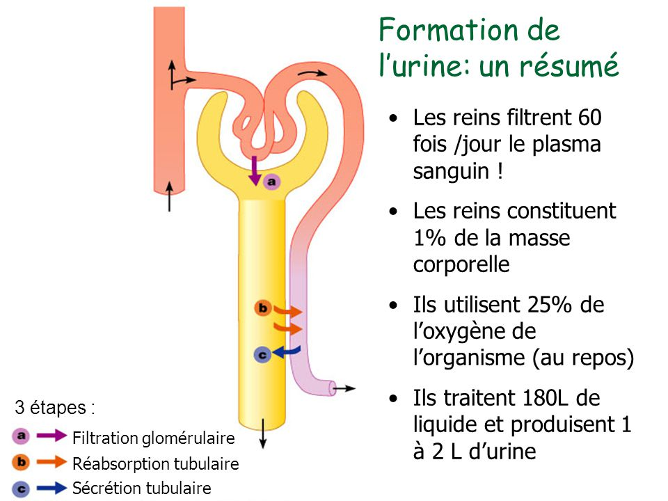Formation de l'urine: un résumé