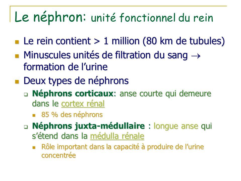 Le néphron: unité fonctionnel du rein