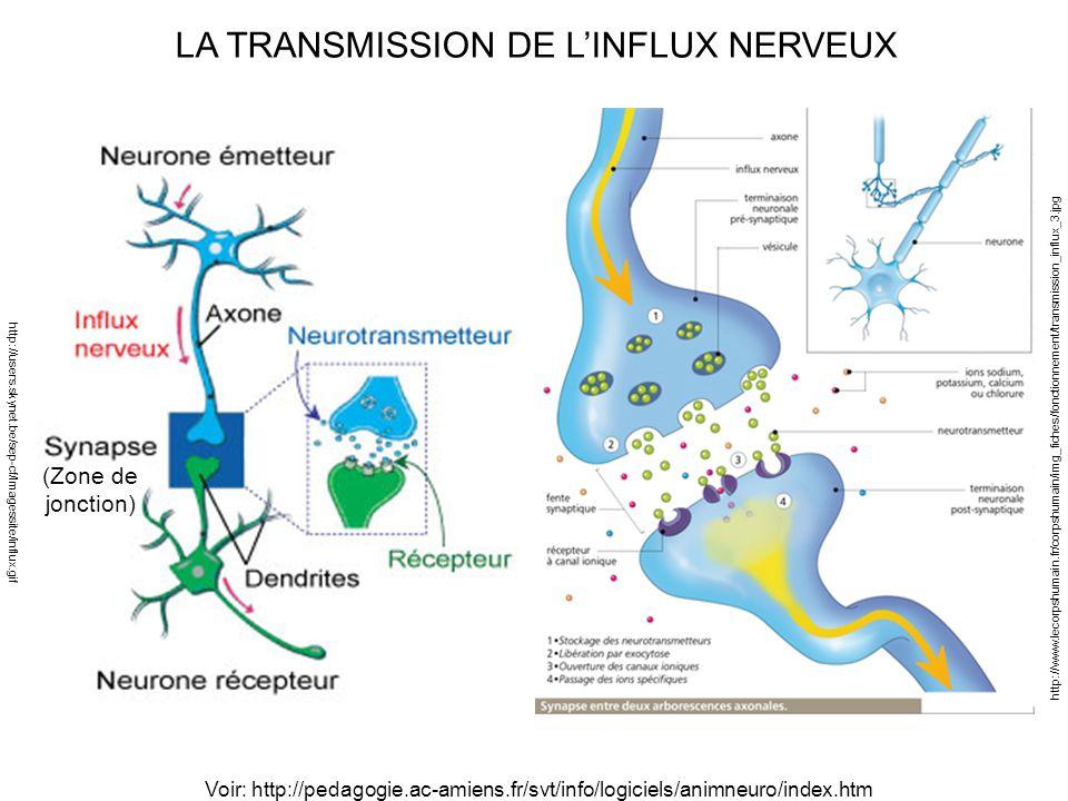 Lequel de ces 2 textes est plus facile lire ppt for Influx nerveux