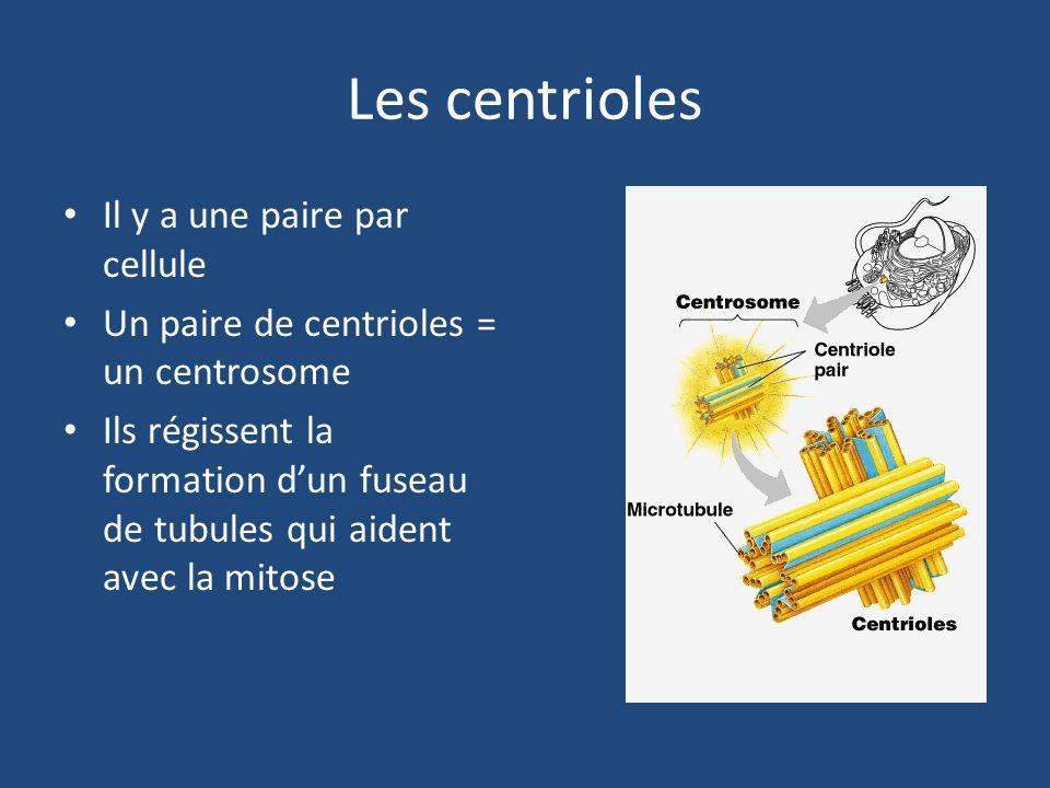 Les centrioles Il y a une paire par cellule