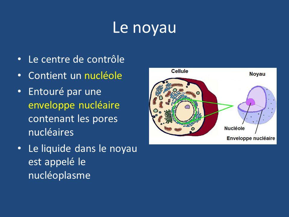 Le noyau Le centre de contrôle Contient un nucléole