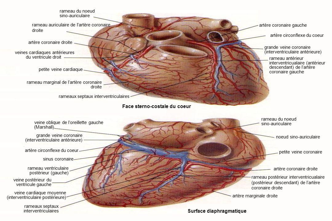 Anatomie du système cardiovasculaire