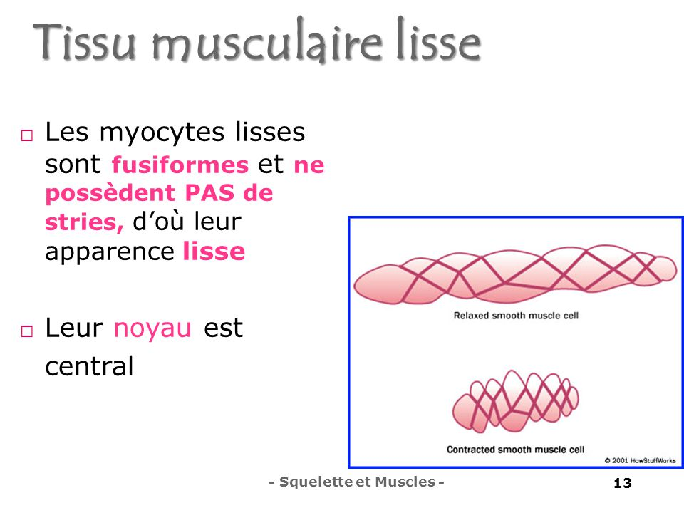 Tissu musculaire lisse