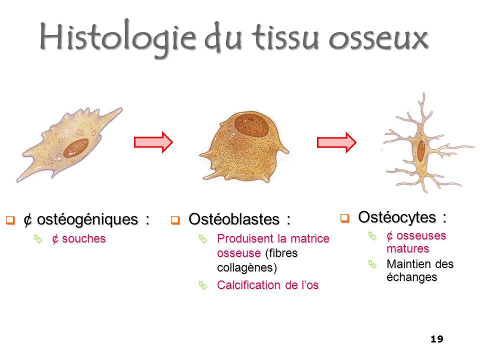 Histologie du tissu osseux