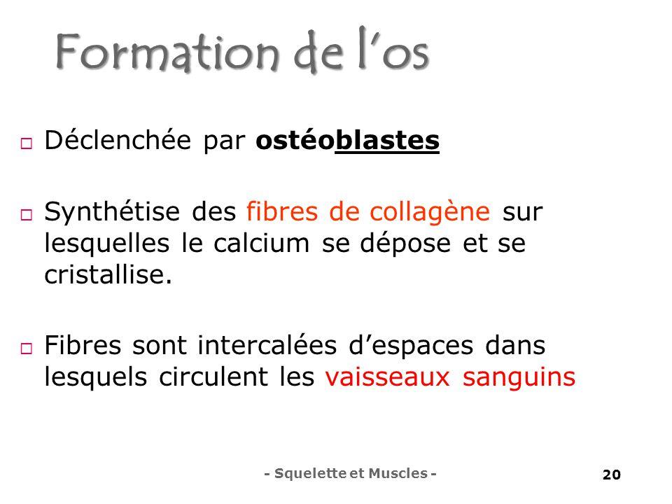 Formation de l'os Déclenchée par ostéoblastes