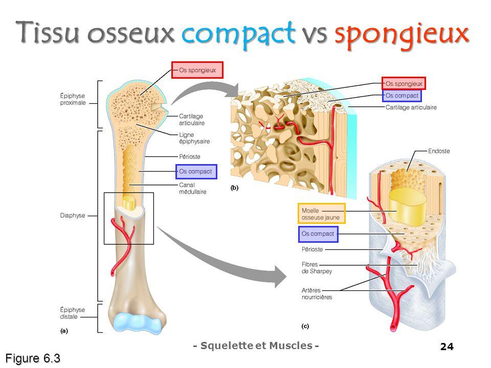 Tissu osseux compact vs spongieux