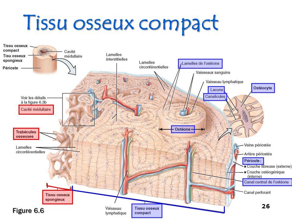Tissu osseux compact Figure 6.6 - Squelette et Muscles -