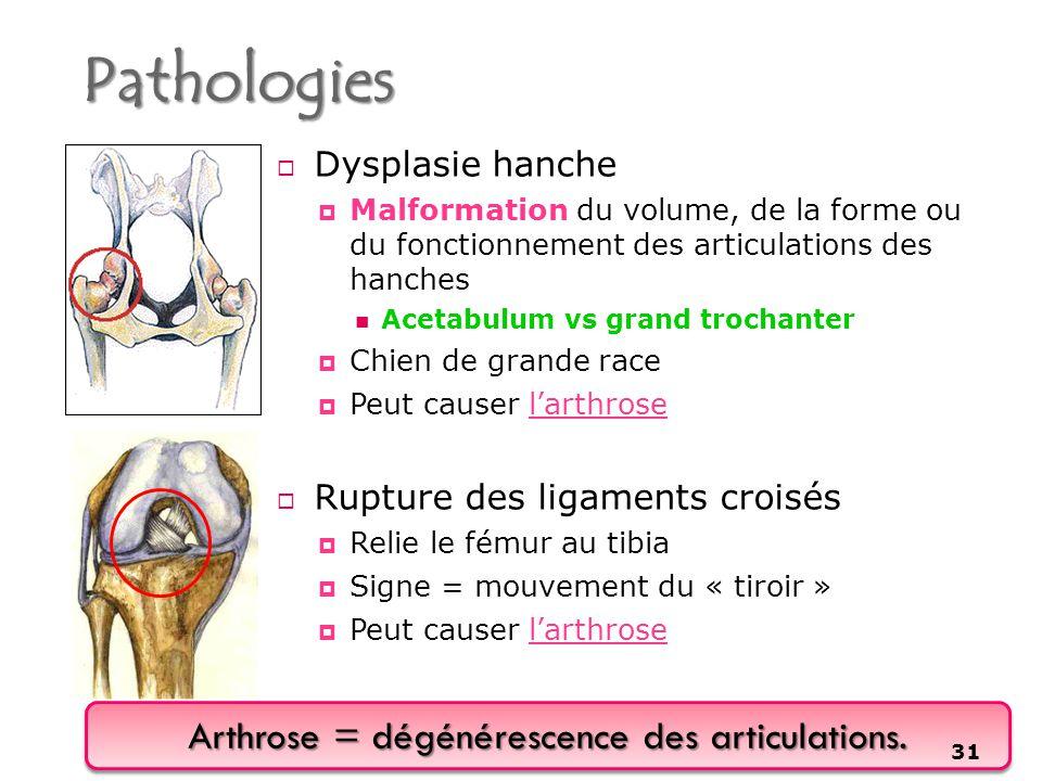Arthrose = dégénérescence des articulations.