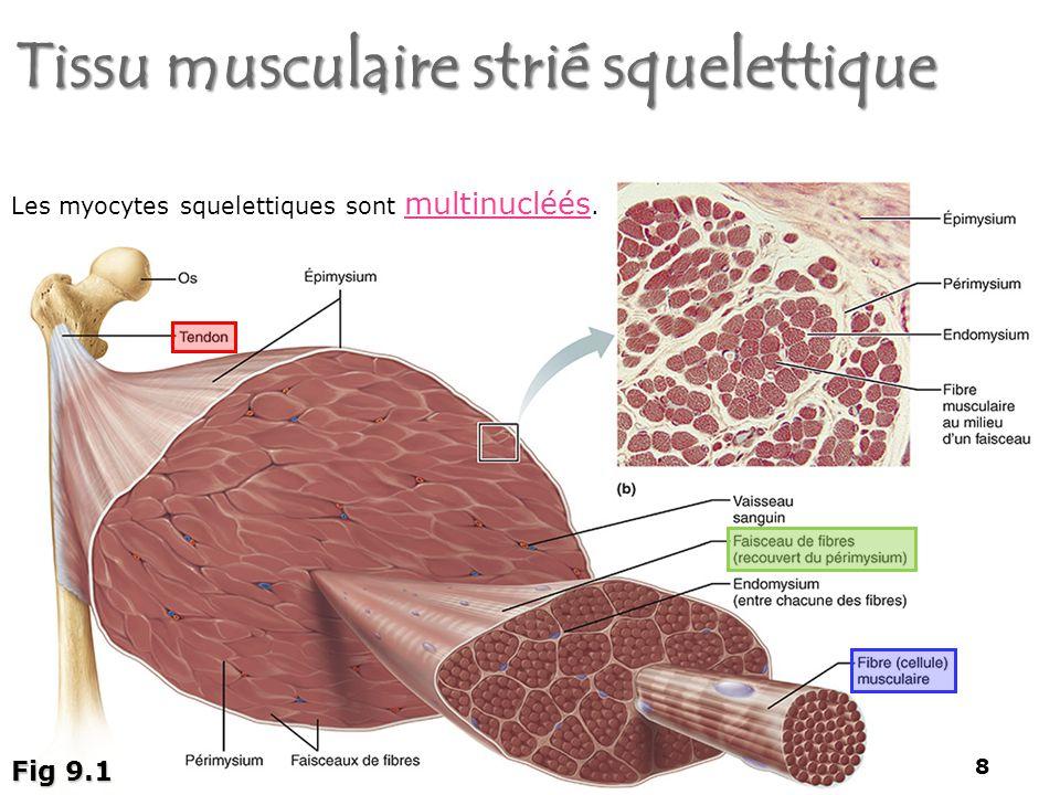 Tissu musculaire strié squelettique