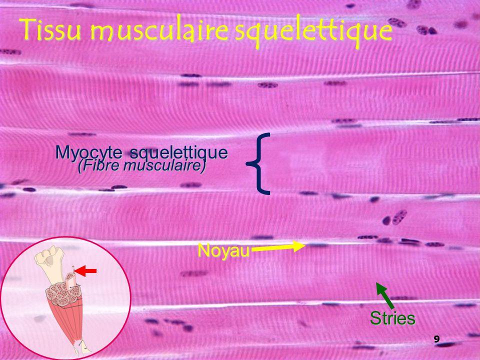Tissu musculaire squelettique