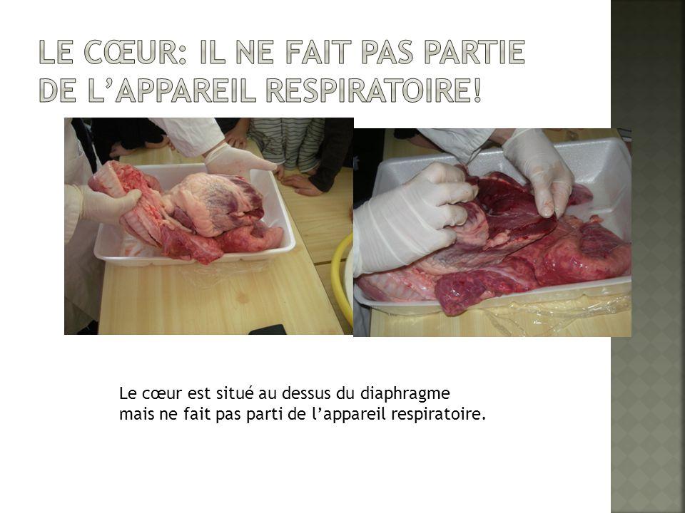 Le Cœur: il ne fait pas partie de l'appareil respiratoire!