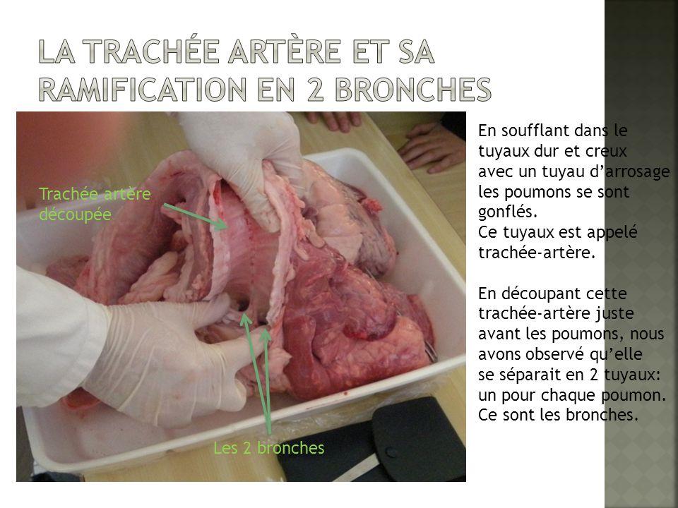 La trachée artère et sa Ramification en 2 bronches