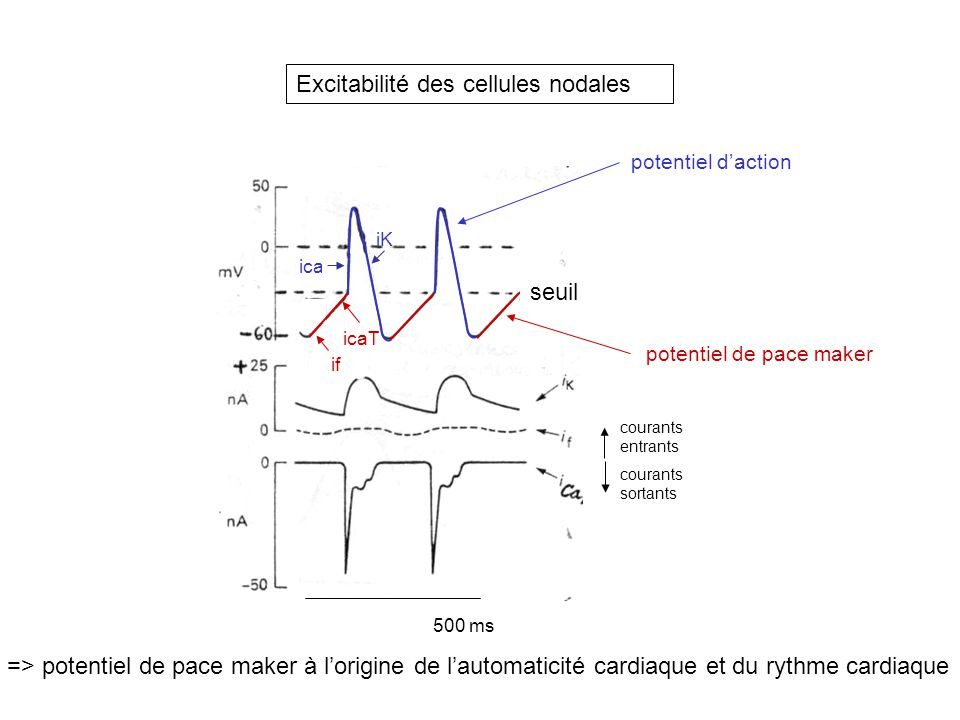 Excitabilité des cellules nodales