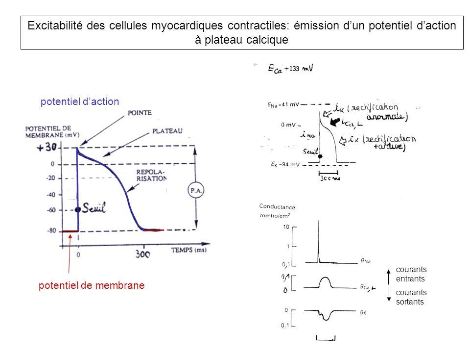 Excitabilité des cellules myocardiques contractiles: émission d'un potentiel d'action à plateau calcique