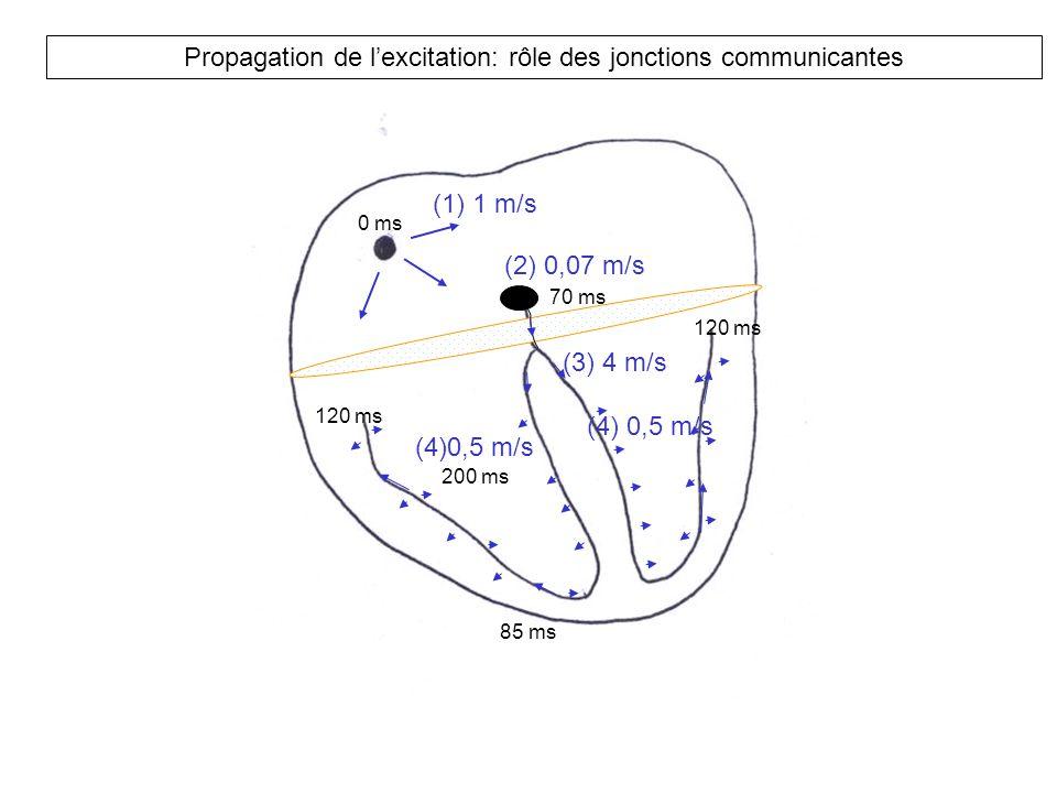 Propagation de l'excitation: rôle des jonctions communicantes