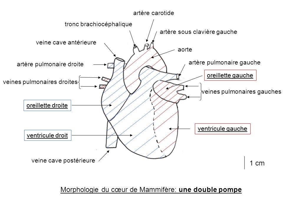 Morphologie du cœur de Mammifère: une double pompe