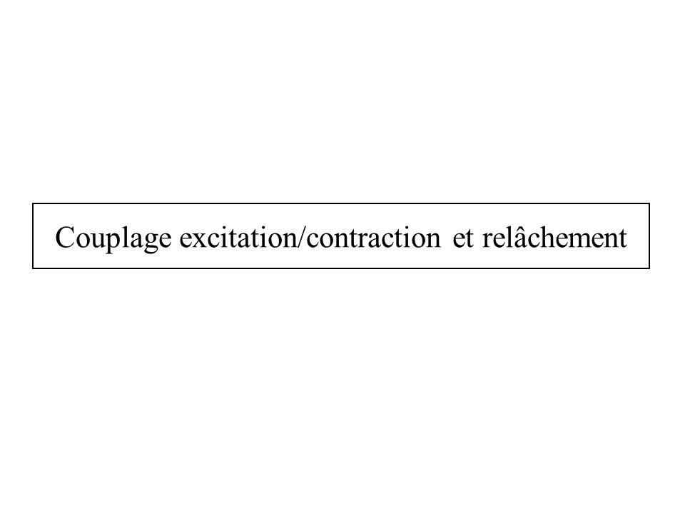 Couplage excitation/contraction et relâchement