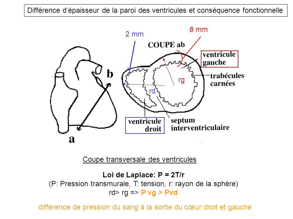 Coupe transversale des ventricules