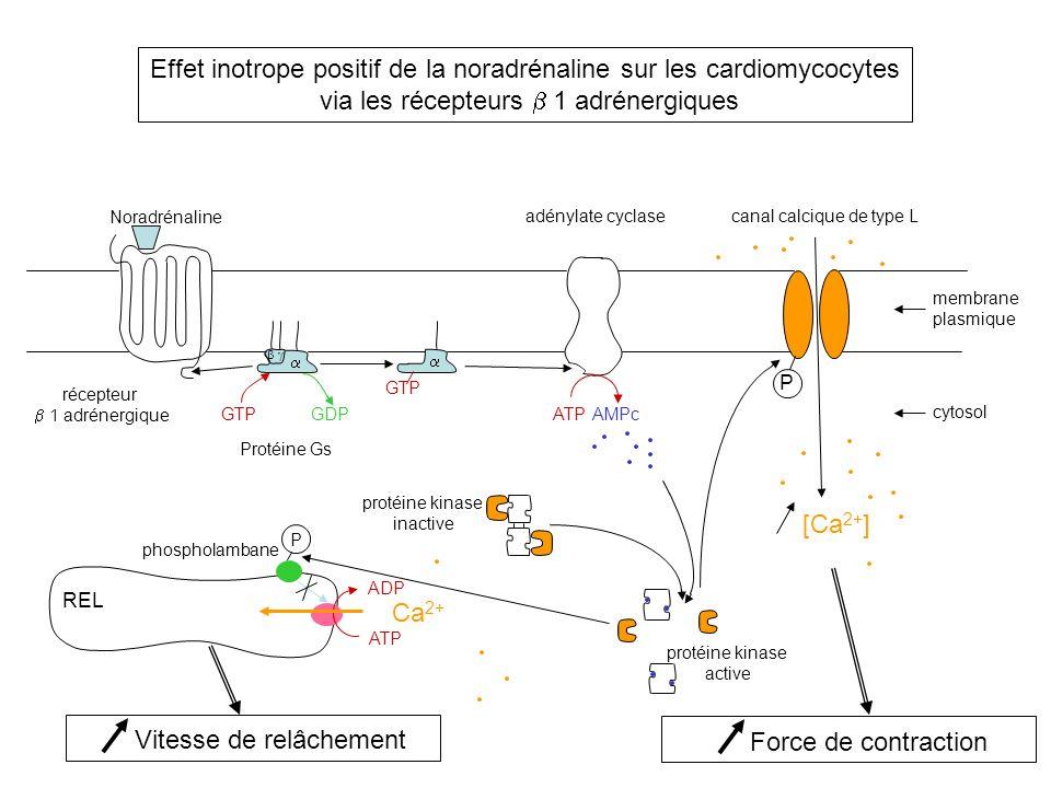 Effet inotrope positif de la noradrénaline sur les cardiomycocytes