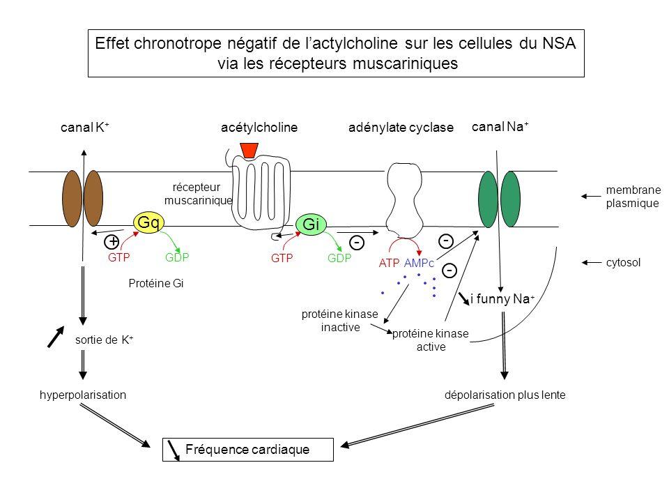 Effet chronotrope négatif de l'actylcholine sur les cellules du NSA