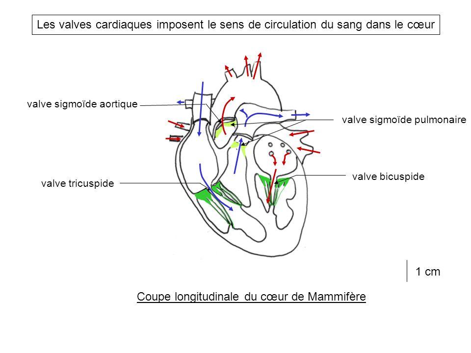 Coupe longitudinale du cœur de Mammifère