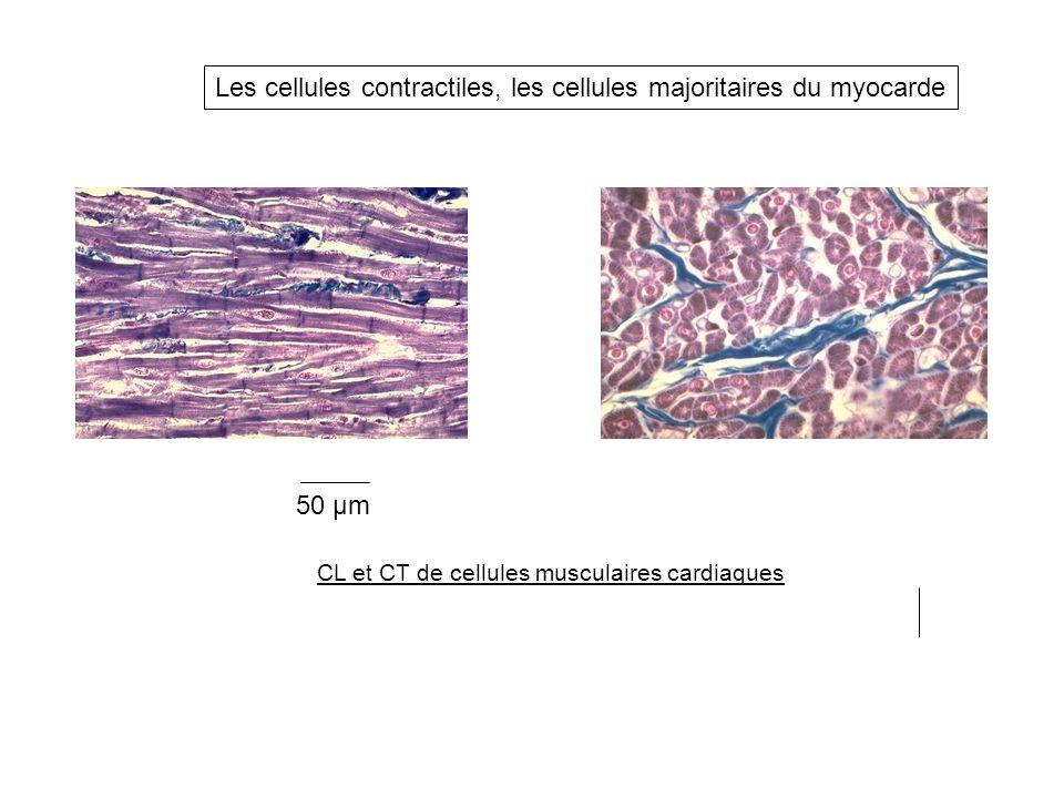 CL et CT de cellules musculaires cardiaques