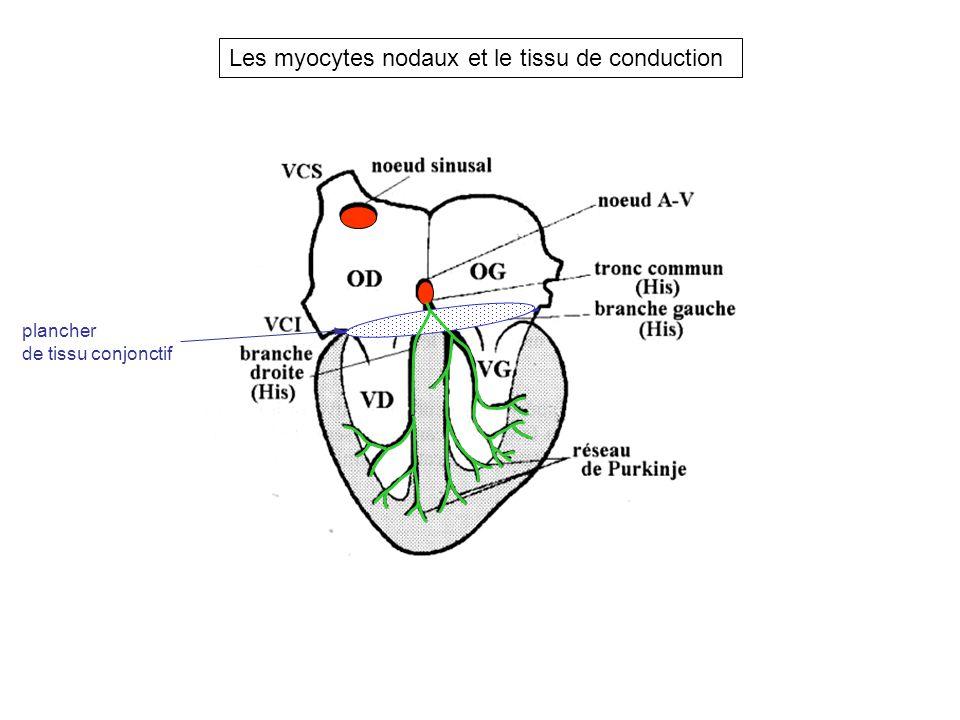 Les myocytes nodaux et le tissu de conduction