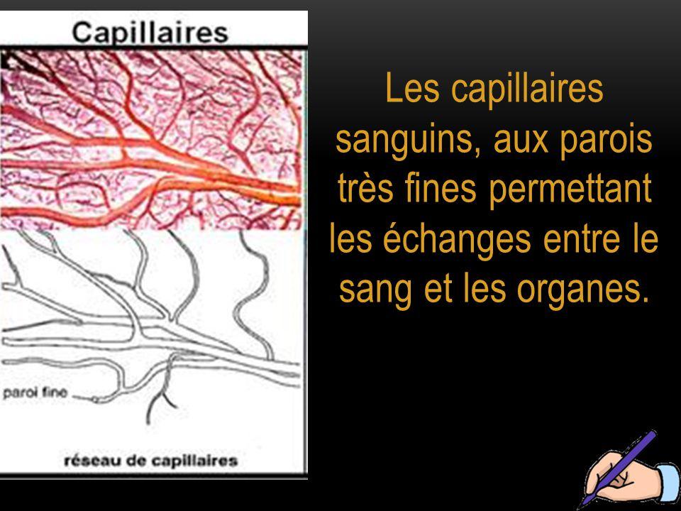 Les capillaires sanguins, aux parois très fines permettant les échanges entre le sang et les organes.