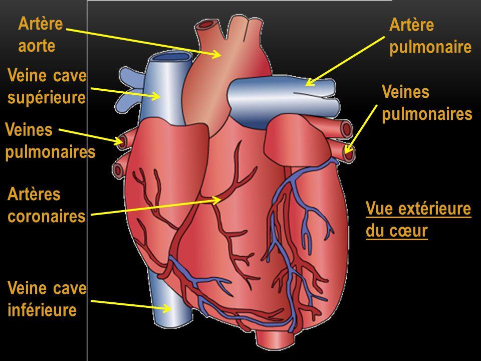 Artère aorte Artère pulmonaire. Veine cave supérieure. Veines pulmonaires. Veines pulmonaires.