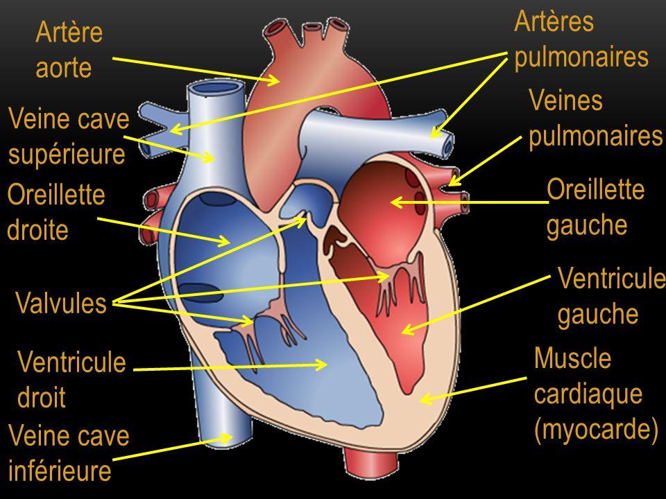 Artères pulmonaires Artère aorte. Veines pulmonaires. Veine cave supérieure. Oreillette gauche.