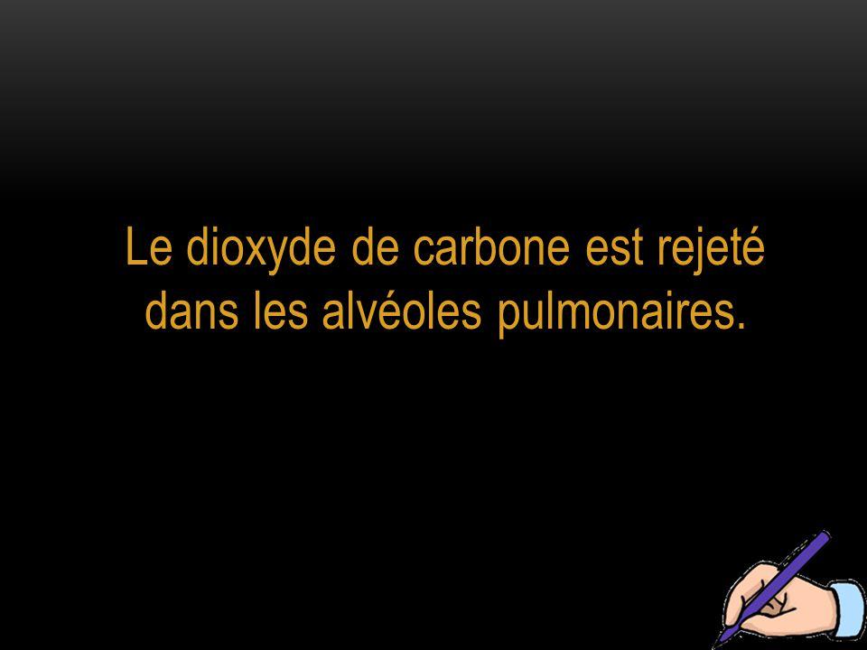 Le dioxyde de carbone est rejeté dans les alvéoles pulmonaires.
