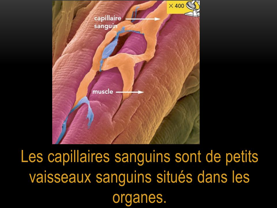 Les capillaires sanguins sont de petits vaisseaux sanguins situés dans les organes.