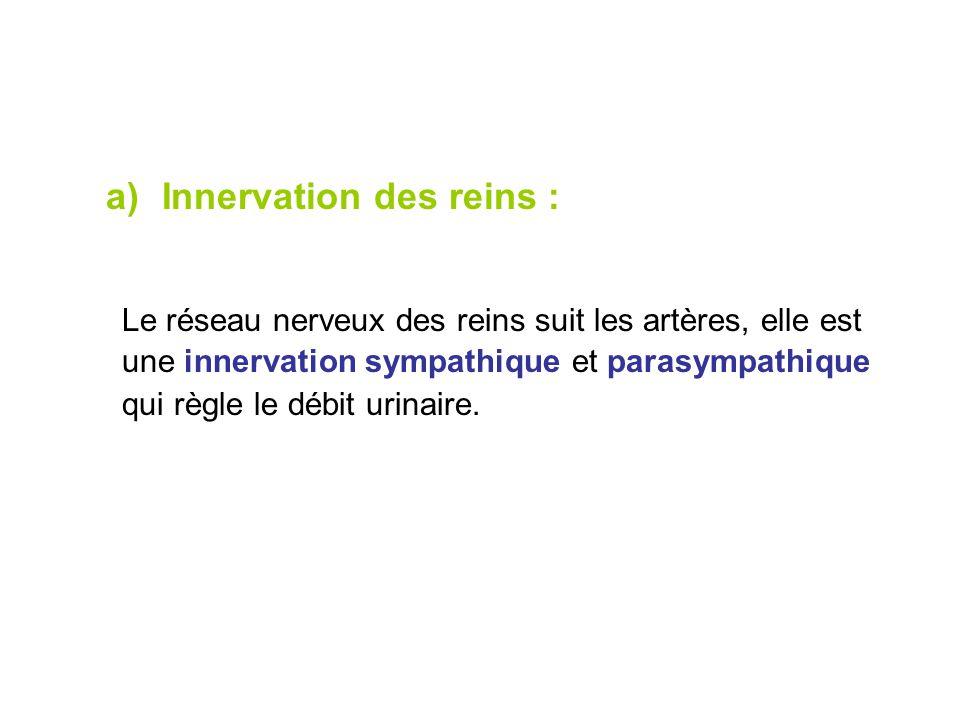 Innervation des reins :