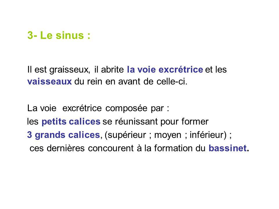 3- Le sinus : Il est graisseux, il abrite la voie excrétrice et les vaisseaux du rein en avant de celle-ci.