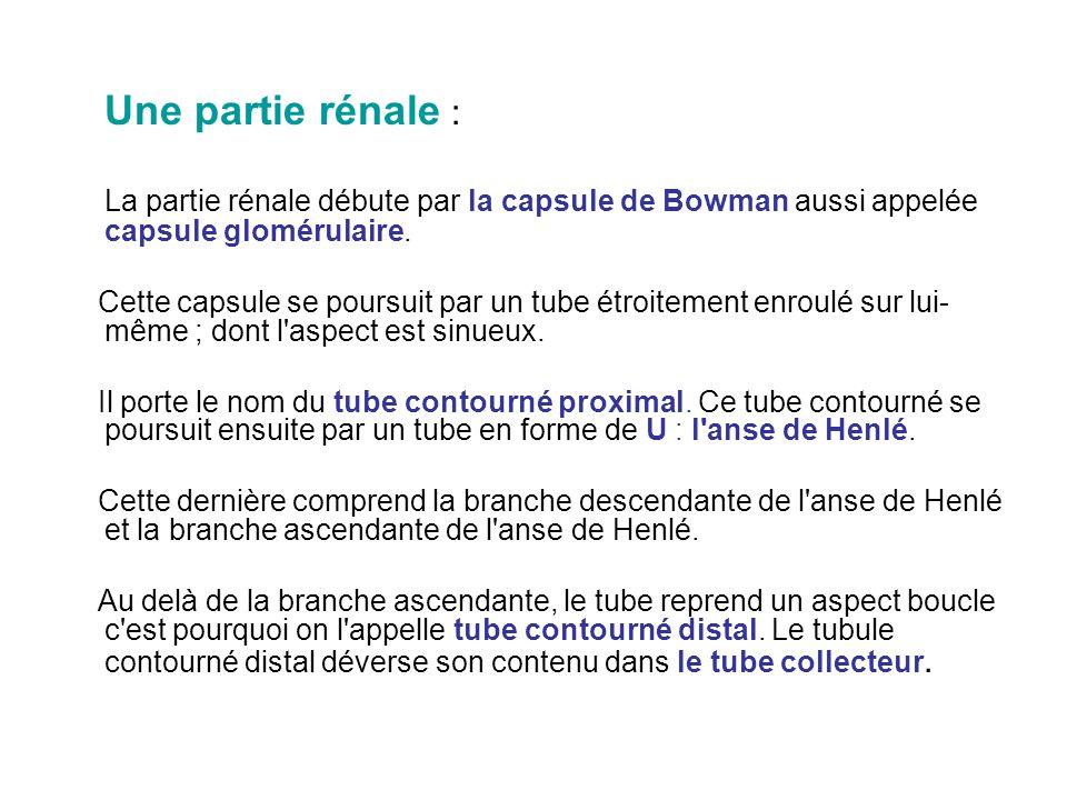 Une partie rénale : La partie rénale débute par la capsule de Bowman aussi appelée capsule glomérulaire.